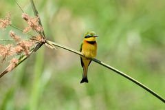 Bee-eater on flower Stock Images