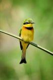 Bee-eater on flower Stock Image