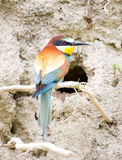 Bee-eater in front of nest Royalty Free Stock Photo