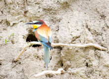 Bee-eater in front of nest Royalty Free Stock Image
