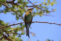 Bee-eater Greens - African Wild Birds Stock Photo