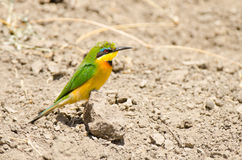 Bee eater on the ground. Bee eater sitting on a stone on the ground below his burrow in Masai Mara Stock Images