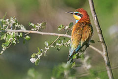 Bee eater hidden among the leaves Stock Photos