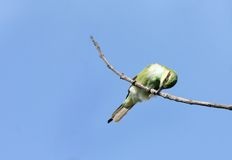 A bee-eater hitting the prey on the branch Royalty Free Stock Image