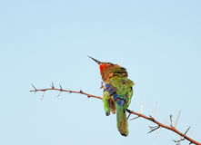 Bee-eater with itch Stock Images