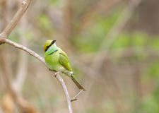 Bee-eater in Jhirna Forest Royalty Free Stock Photo