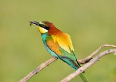 Bee-eater on leafless branch. Royalty Free Stock Photography