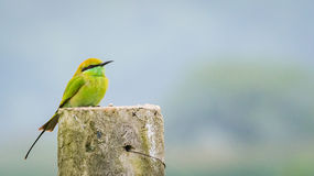 Green bee eater on left Royalty Free Stock Photos