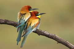 Bee eater love Stock Image