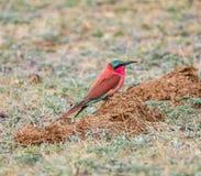 Bee-eater meridional del carmín Imagenes de archivo