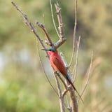 Bee-eater meridional del carmín Foto de archivo libre de regalías