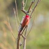 Bee-eater meridional del carmín Imagen de archivo libre de regalías