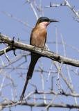 Bee-eater meridional del carmín Imagen de archivo