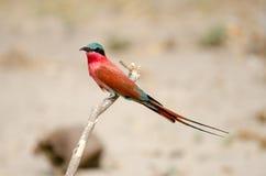 Bee-eater meridional del carmín Fotografía de archivo libre de regalías