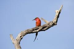 Bee-eater meridional del carmín Fotos de archivo libres de regalías