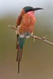 Bee-eater meridional del carmín Fotos de archivo
