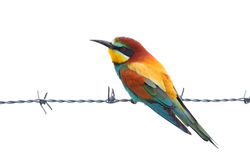 Bee eater (merops apiaster) Royalty Free Stock Photos