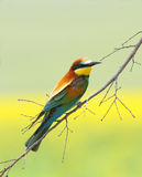 Bee Eater (merops Apiaster) Stock Photography