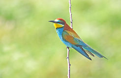 Bee-eater (merops apiaster. Colorful bee-eater standing on top of brach Stock Photo