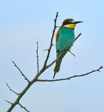 Bee eater Merops apiaster Stock Photography