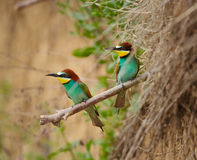 Bee eater Merops apiaster Stock Images