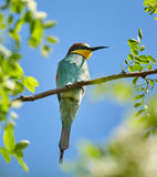 Bee eater Merops apiaster Royalty Free Stock Image