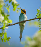 Bee eater Merops apiaster Royalty Free Stock Photography
