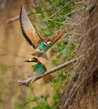 Bee eater Merops apiaster Royalty Free Stock Photo