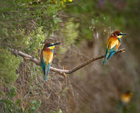 Bee eater Merops apiaster Royalty Free Stock Images