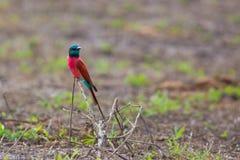 Bee-eater nordique de carmin Image stock
