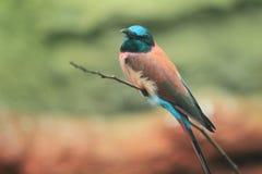 Bee-eater norteño del carmín Foto de archivo