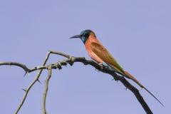 Bee-eater norteño del carmín Imagen de archivo libre de regalías
