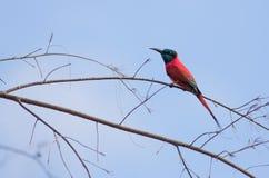 Bee-eater norteño del carmín Fotografía de archivo