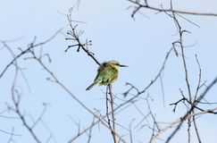 A bee-eater perched on a branch Stock Photography