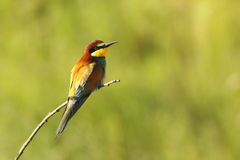 Bee eater perched on twig Stock Photo