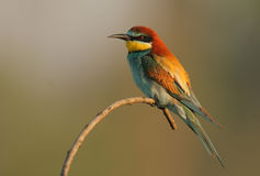 Bee-eater. The picture was taken in Hungary Stock Images