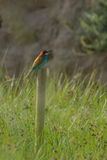 Bee Eater on pole Royalty Free Stock Photography