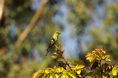 Bee Eater Stock Image