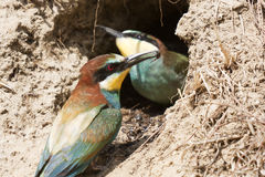 Bee-eater puppy Royalty Free Stock Images