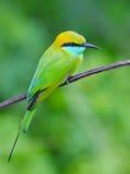 Bee-eater que se sienta en una ramificación Imágenes de archivo libres de regalías