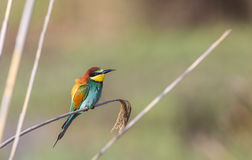 Bee-eater on a Reed Straw Royalty Free Stock Photo