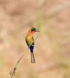 Bee-eater Rojo-throated en Senegal Imagen de archivo libre de regalías