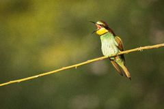 Bee eater screaming. Colorful bee eater screaming on the branch Royalty Free Stock Photos