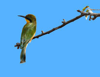 Bee eater sitting on a branch. Masai Mara Game Reserve, Kenya Royalty Free Stock Photo