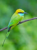 Bee-eater sitting on a branch Royalty Free Stock Images