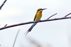 Bee-eater Stock Photos