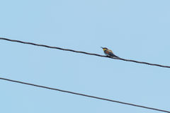 Bee-eater sitting on the electrical wire Royalty Free Stock Image