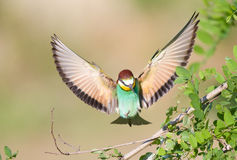 Bee-eater with spread wings Stock Photo