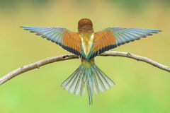 Bee-eater spreading wings Royalty Free Stock Photo
