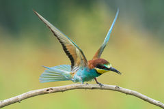 Bee-eater spreading wings Royalty Free Stock Image